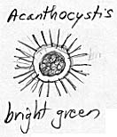 Drawing of the bright green Acanthocystis