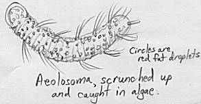 Image of the beautiful Aeolosoma.