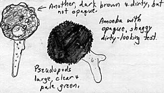 Drawing of sarcodines with irregular, dirty-looking shells.