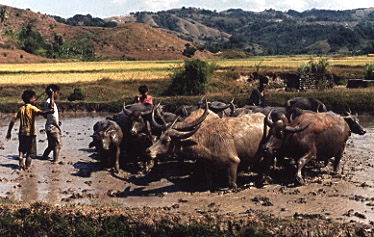 Boys using carabao to plow a rice field in Sumba, Indonesia.