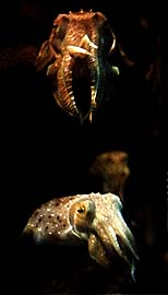 A photograph of two cuttlefish gesturing at the photographer.