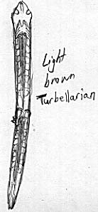 Sketch of the common tan double worm.