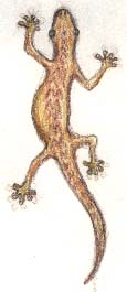 Mourning gecko, pencil drawing.