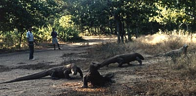 Two park service personnel keep an eye on the Komodo dragons.