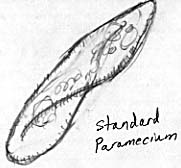 Drawing of a paramecium