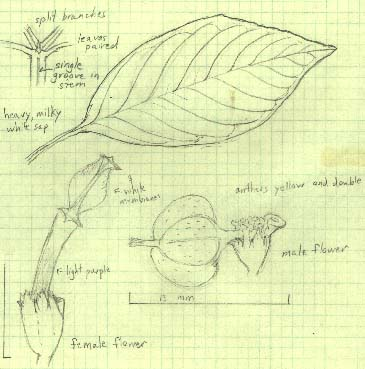 Pencil sketch of parts of Euphorbia hirta.