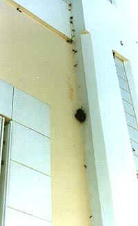 Photograph of three giant African land snails on a wall with snail poop.