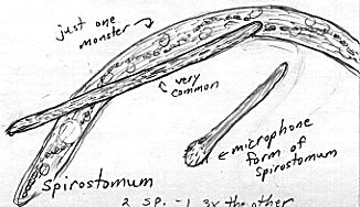 Image showing many different forms of Spirostomum as described in the text.