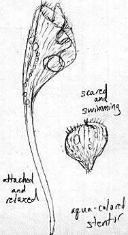 Image of the aqua stentor, showing extended and scrunched-up form.