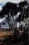 Thumbnail photo of a pandanus tree.