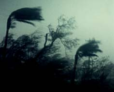 Photograph of coconut palms being blown in Typhoon Omar's winds.